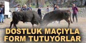 Erzurum'da Boğalarına dostluk maçı yaptırdılar
