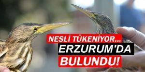 Nesli tükenen türlerden biriydi, Erzurum'da ortaya çıktı